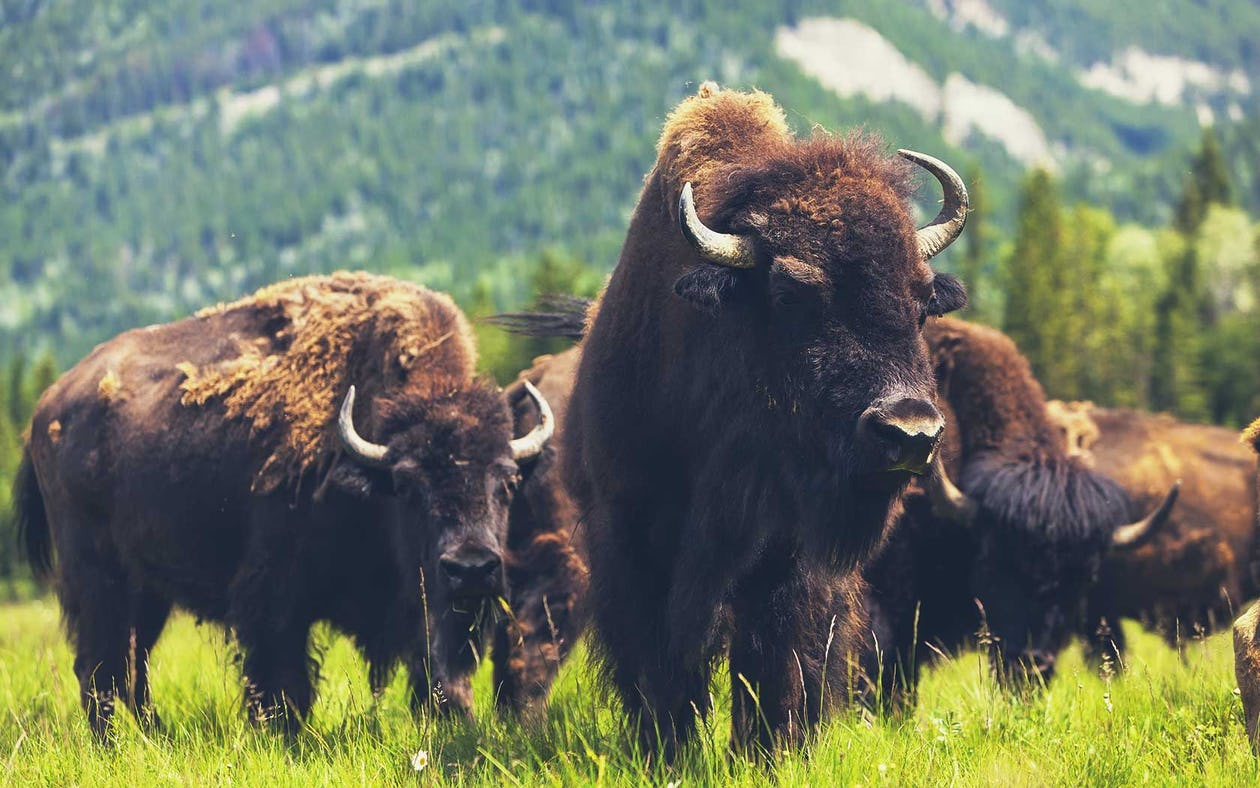 Bison Meat: How It Can Help The Environment? - Noble Premium Bison
